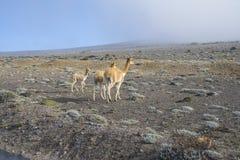 Llamas en los Andes ecuatorianos Fotos de archivo