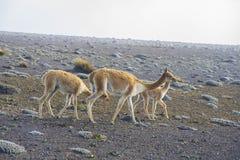 Llamas en los Andes ecuatorianos Fotos de archivo libres de regalías