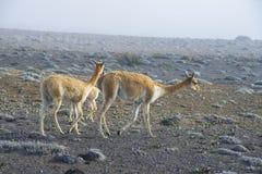 Llamas en los Andes ecuatorianos Fotografía de archivo