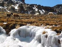 Llamas en los Andes peruanos debajo del hielo Imagen de archivo libre de regalías