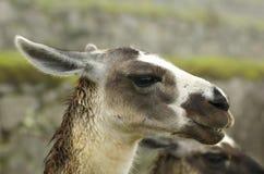 Llamas en Machu Picchu - Cuzco, Perú Imagenes de archivo