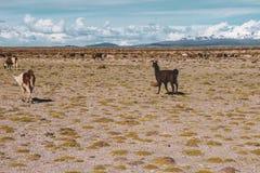 Llamas en Salar de Uyuni en Bolivia fotografía de archivo
