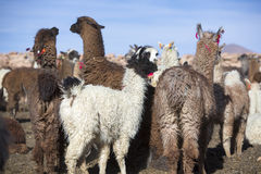 Llamas enclosure with blue sky, Bolivia Stock Photography