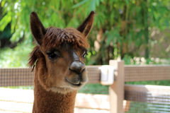 Llamas face Royalty Free Stock Photo