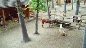 Llamas Royalty Free Stock Image