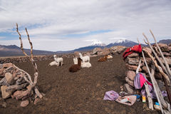 Llamas farm Stock Photos