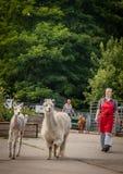 Llamas on farm Royalty Free Stock Image