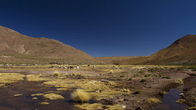Llamas in the field in the Andes mountains Royalty Free Stock Photography
