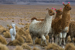 Llamas, focus on the kid, very shallow DOF stock images