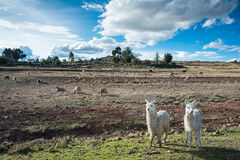 Llamas are front of Terraced Inca fields Royalty Free Stock Photo