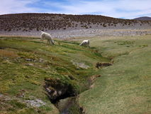 Llamas at the grass around a small stream in altiplano Stock Images