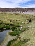 Llamas at the grass around a small stream in altiplano Stock Photo