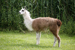 Free Llamas Graze On The River Side Rural Scene Royalty Free Stock Photography - 55548997