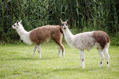 Llamas graze on the river side rural scene Royalty Free Stock Image
