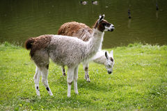 Llamas graze on the river side rural scene Stock Photography