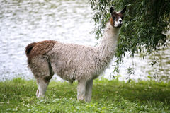 Llamas graze on the river side rural scene Royalty Free Stock Images