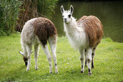 Llamas graze on the river side rural scene Royalty Free Stock Photography