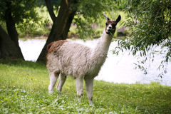 Llamas graze on the river side rural scene Stock Image