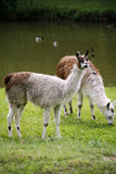 Llamas graze on the river side rural scene Royalty Free Stock Photos