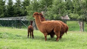 Llamas grazing in meadow stock video footage