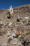Llamas grazing near the road, Colorful valley of Quebrada de Hum Stock Images
