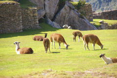Llamas grazing on terraced plaza Royalty Free Stock Photo