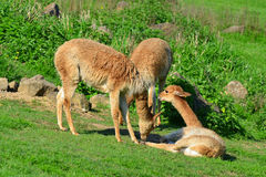 Llamas Royalty Free Stock Photography