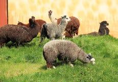 Llamas Royalty Free Stock Photos