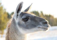 Llamas Head Close Up Royalty Free Stock Photos