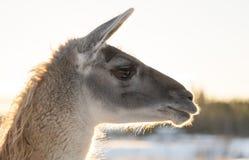 Llamas Head Close Up Stock Photography