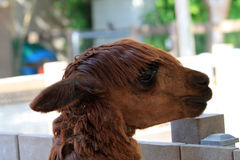Llamas head Stock Photography