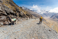Llamas herd carrying heavy load, Bolivia mountains. Stock Images