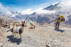 Llamas herd carrying heavy load, Bolivia mountains. Stock Photography