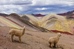 Free Llamas In Palccoyo Rainbow Mountains, Cusco/Peru Stock Photo - 183773650