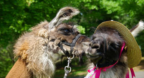 Llamas Kissing Stock Image