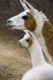 Llamas (Lama glama). A few-weeks old young Llama and her mother stock photo