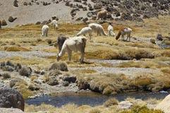 Llamas (Lama glama) Stock Image