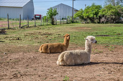Good Looking Llamas. Llamas lama glama resting in the sun.  The brown one is alert to its surroundings while the white one seems to be unconcerned Royalty Free Stock Photo