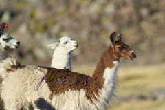 Llamas in Lauca National Park, Chile Royalty Free Stock Photography