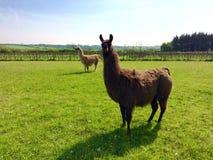 Llamas in Llanblethain Stock Image