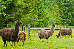 Llamas in Lush Pasture. Group of  llamas in corralled green pasture with yellow wild flowers.  Lush forest in background. Focus on llamas in foreground Royalty Free Stock Photos