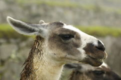 Llamas at Machu Picchu - Cuzco, peru. These llamas were seen wandering about in the ruins of Machu Picchu Stock Images