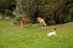 Llamas at Machu Picchu Peru stock photos