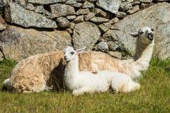 Llamas Machu Picchu ruins peruvian Andes Cuzco Peru royalty free stock photos
