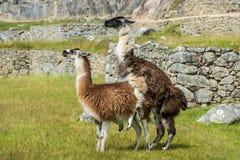 Llamas  Machu Picchu ruins peruvian Andes  Cuzco Peru Stock Images