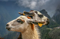 Llamas in Machu Picchu stock photos