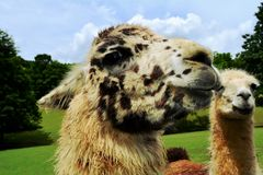 Llamas mirada Stock Photography
