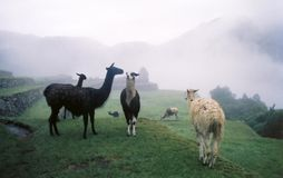Llamas in the Mist Stock Image