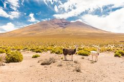 Llamas mother and baby pasturing Bolivia mountain valley. Llamas mother and baby pasturing beautiful scenic volcano mountain valley, Bolivia landscape South Stock Photos