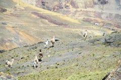 Llamas on mountain path royalty free stock image
